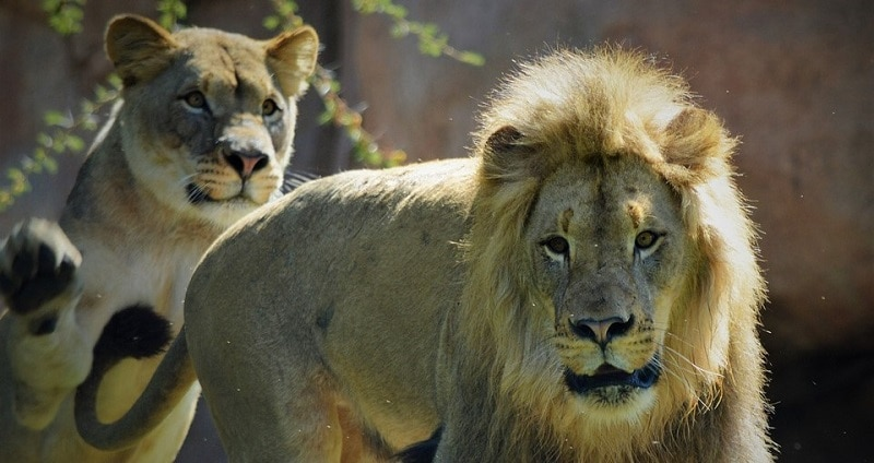 A lion and lioness at San Diego Safari Park