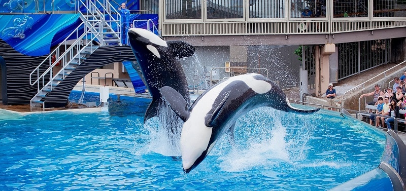 Whales in a pool at SeaWorld