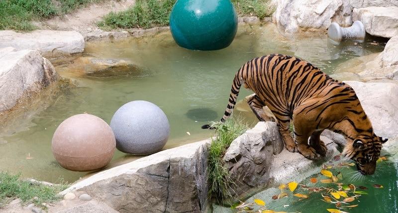 Tiger at Los Angeles Zoo