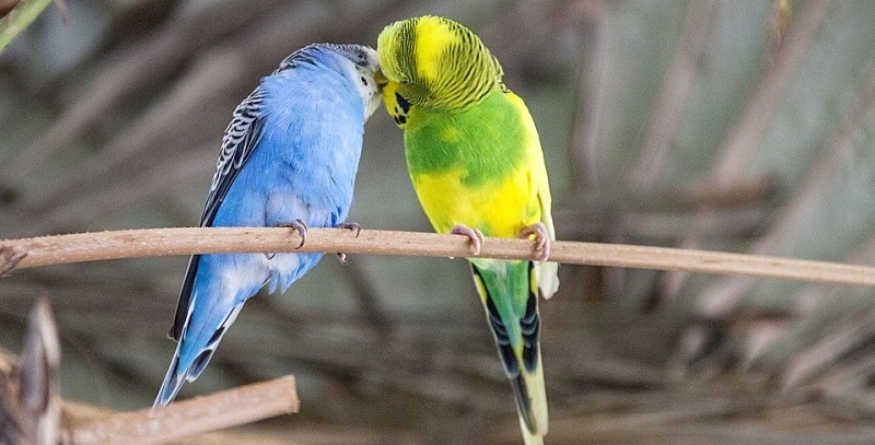 A pair of budgies on a branch
