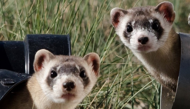 Two ferrets poking their heads out of pipes