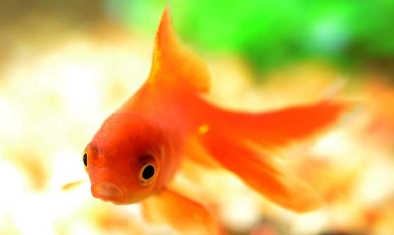 A close-up of a goldfish swimming towards the camera