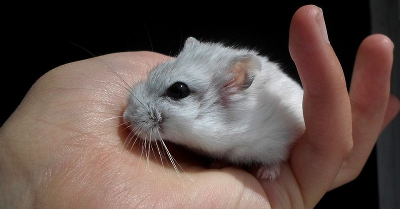Hamster climbing on a person's hand