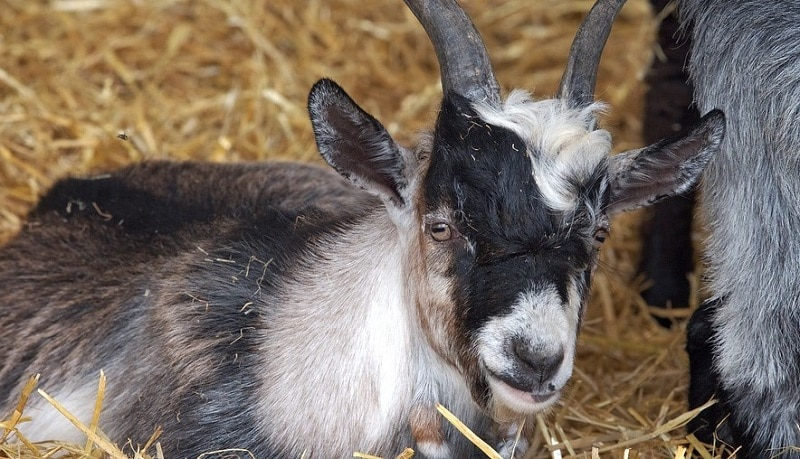 A young pygmy goat