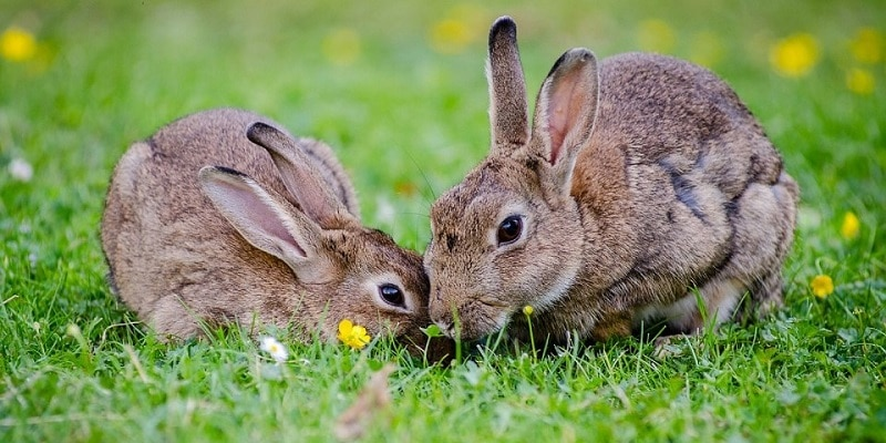 Two rabbits sniffing each other