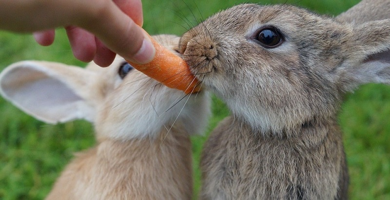 Two rabbits chewing on a carrot