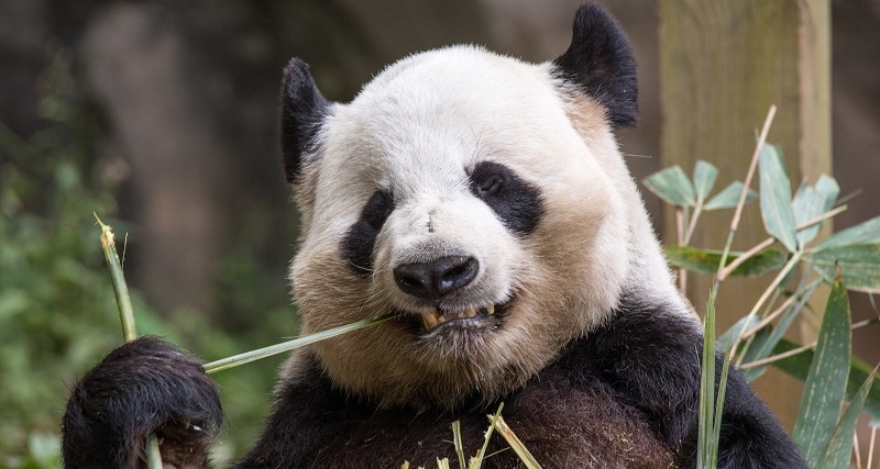 A panda chewing on bamboo
