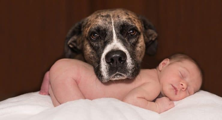 A protective dog rests its head on a sleeping baby
