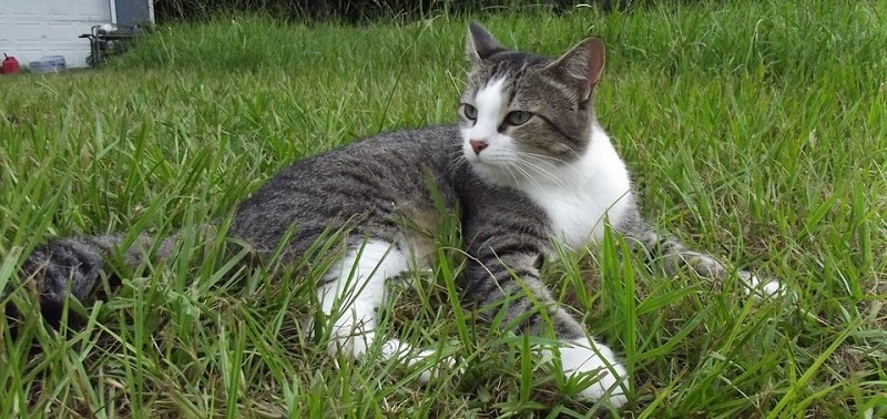 Black, gray and white tabby cat lying on a lawn