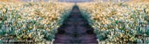 farm jojoba
