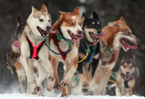 Iditarod_Ceremonial_start_in_Anchorage,_Alaska