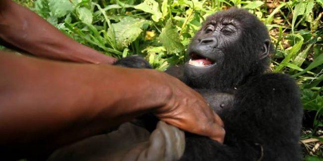Netflix to Air No Miss Documentary 'Virunga' November 7  VIDEO