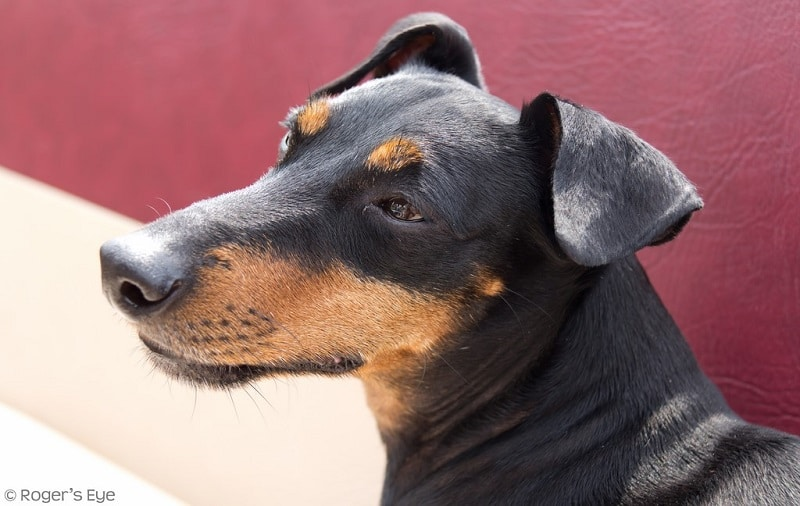 Close-up of a Manchester terrier