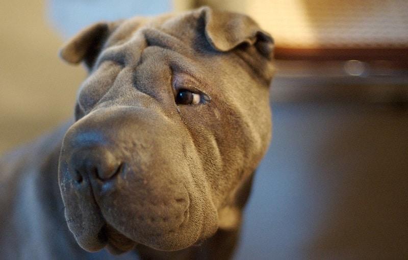 A wrinkly shar pei dog