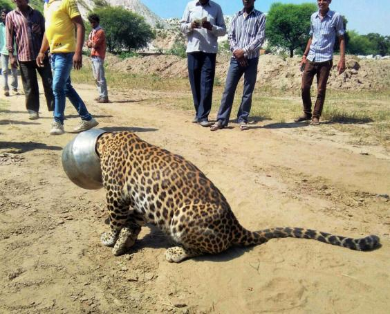 Leopard Gets Pot Stuck On Head. Watch How They Manage To Save It