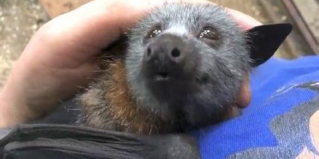 This baby bat squeaks adorably when he's tickled
