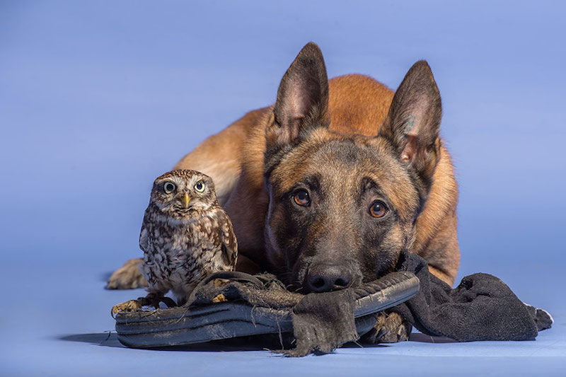 dog-owl-best-friends-7