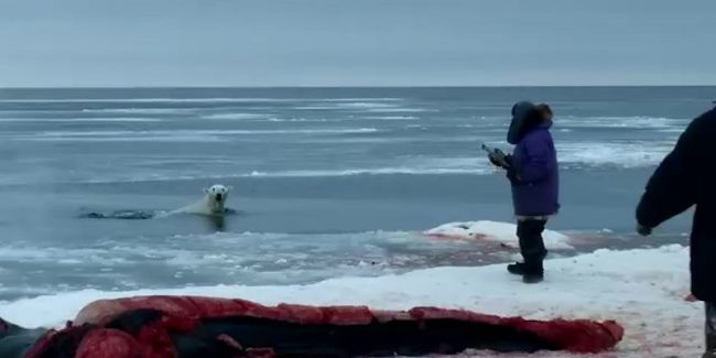 Disturbing moment polar bear is shot in head by Alaska hunters