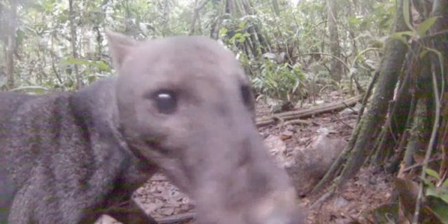 Incredibly rare short-eared Amazon jungle dog seen on film