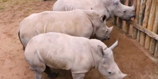 These baby rhinos crying for milk is simply adorable