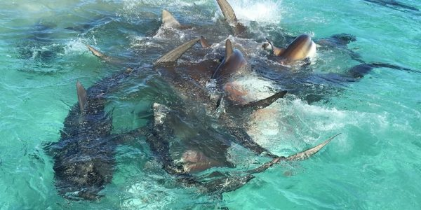 Watch tiger sharks feasting on a whale carcass