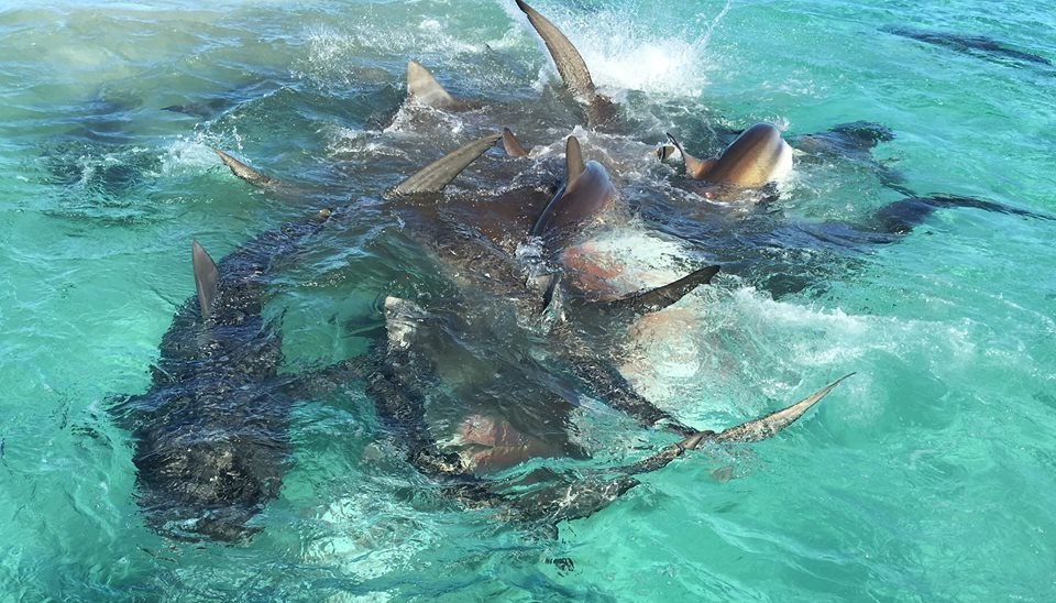 The tiger sharks writhe about in a frenzy while feeding on the whale carcass. Pic: Eco Abrolhos/Facebook