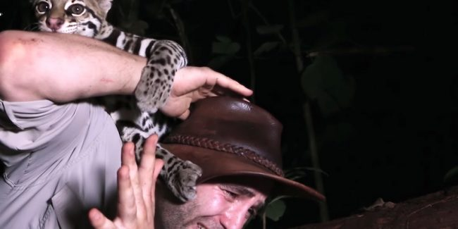 Guy gets KISS from a wild ocelot as he plays with it in rainforest