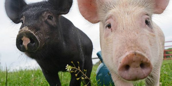 Adorable! Jon Stewart introduces his first sanctuary piglet stars, Anna and Maybelle