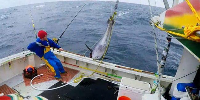 Large Tuna caught