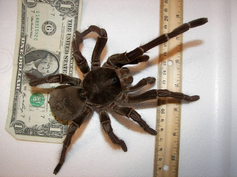 The goliath birdeater, the largest spider in the world