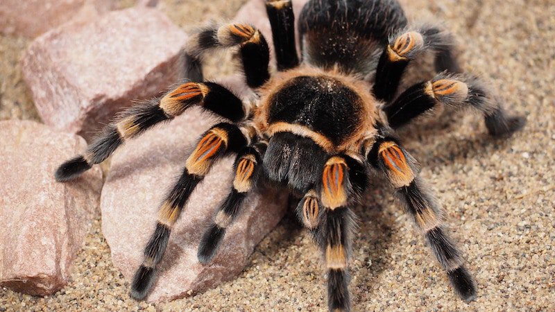 Most venomous spiders in the world