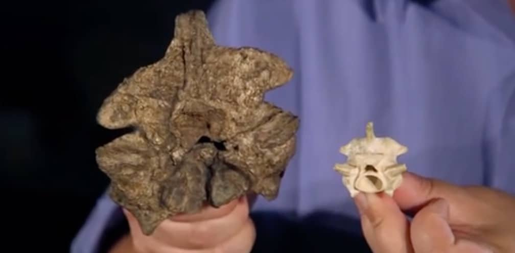 Titanoboa vertebrate vs modern day anaconda