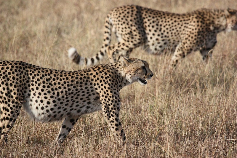 The cheetah, the fastest land animal in the world