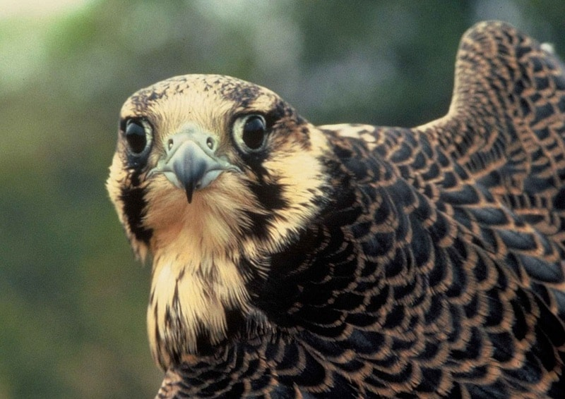 The peregrine falcon, the fastest animal in the world