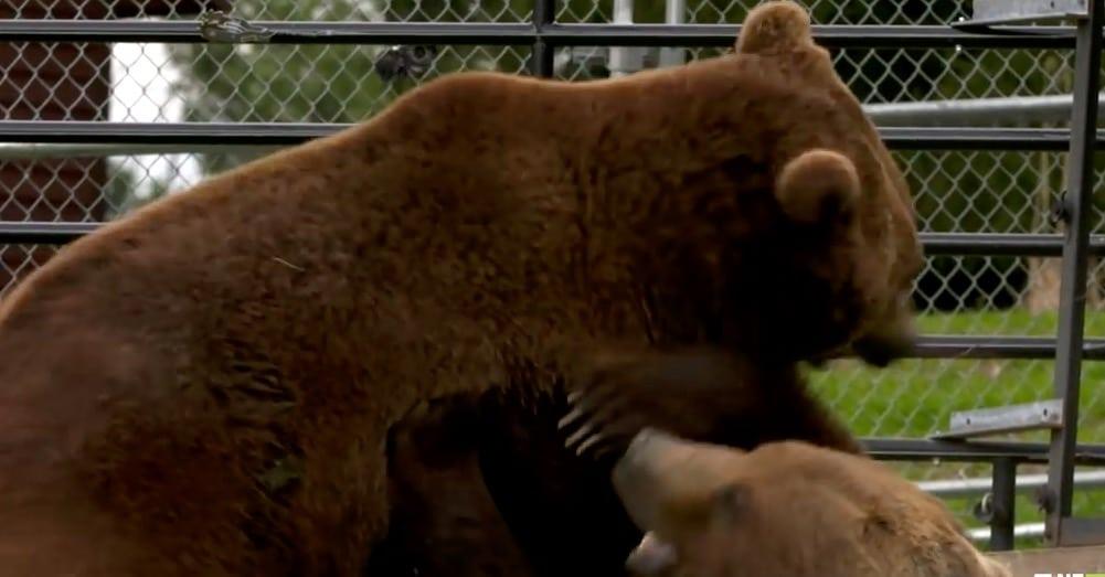 The bears wrestle