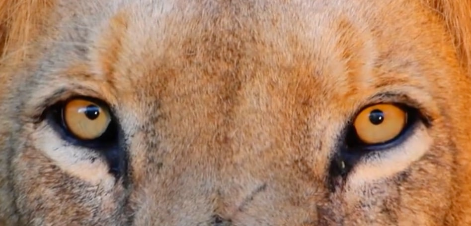 The Story of Cats, lion close-up