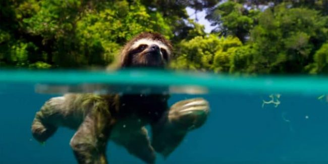 A pygmy three-toed sloth swimming in remarkable footage from Planet Earth II
