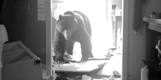 Footage of the bear terrorizing the Brown family on this week's Alaskan Bush People