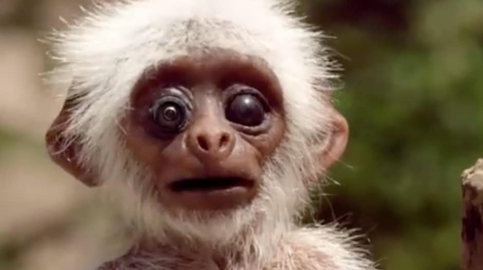 This monkey is more than meets the eye! Spy in the Wild animatronic monkey