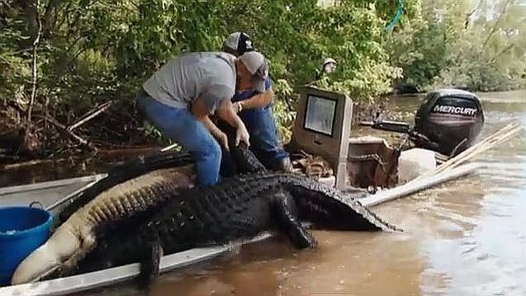 Alligator about to capsize boat