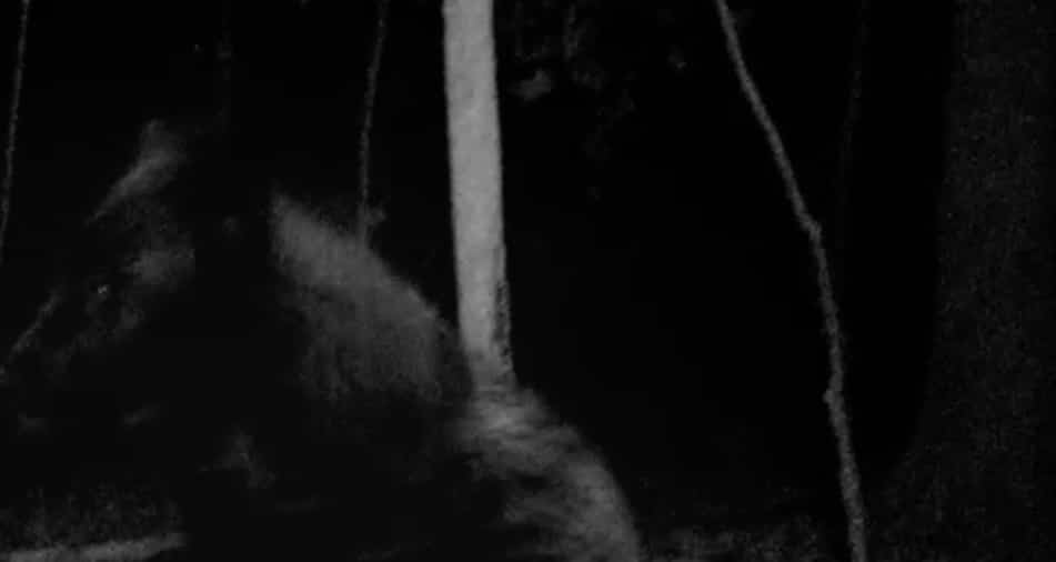The Black Wolf caught on camera