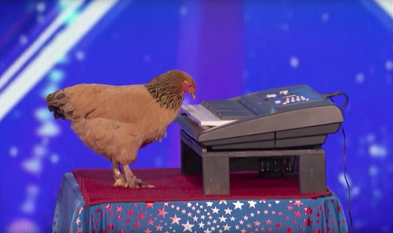 Jokgu the chicken playing a keyboard on America's Got Talent