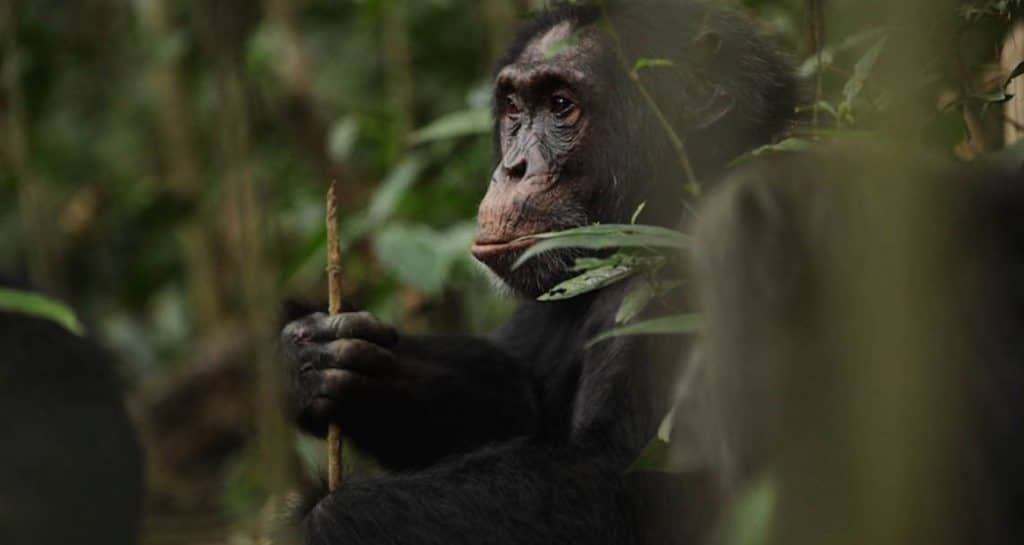 A chimpanzee holding a spear
