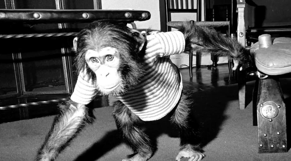 Boris the chimpanzee