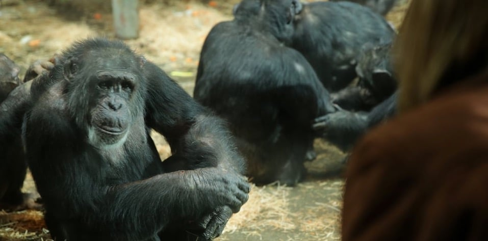 But little baby chimps grow up, will he still recognise the family who raised him?