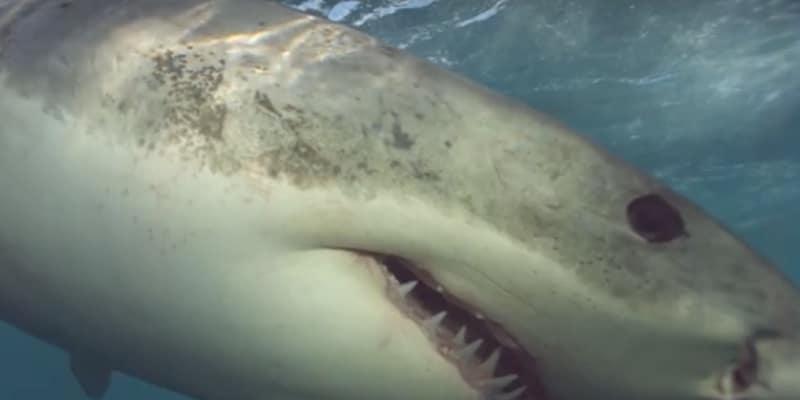 Great white shark closeup