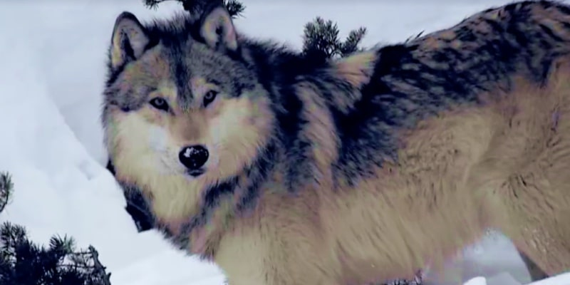 A wolf in the snowy forest looks towards the camera