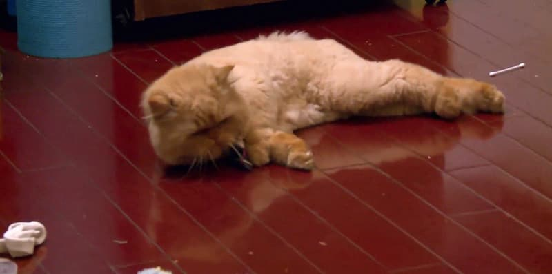 Mr. Weasly the cat collapsed on the floor in footage from My Cat From Hell