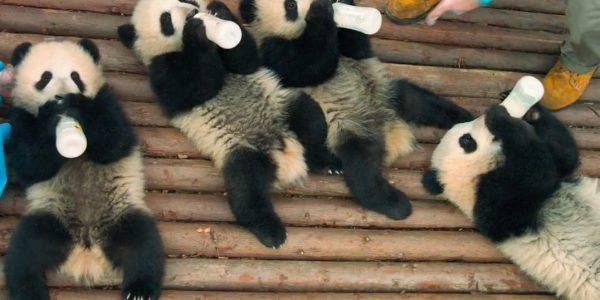 Baby pandas drinking milk from bottles
