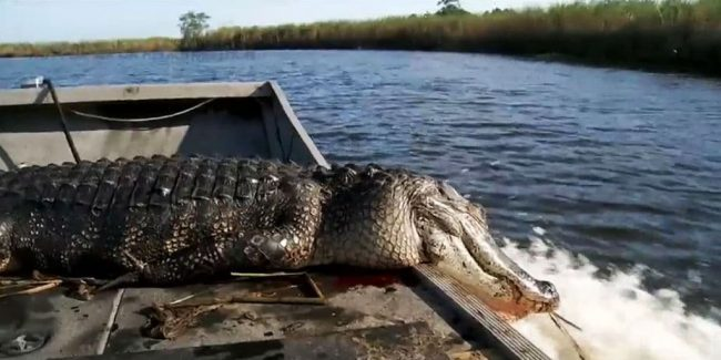 Swamp People recap: Texas Tag Out sees 'swamp snot', Tommy's tardy return and Bigfoot's fry-up